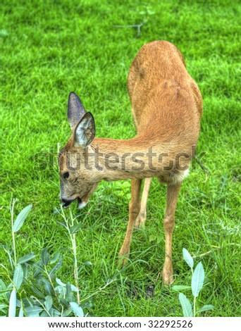 Roe doe - stock photo