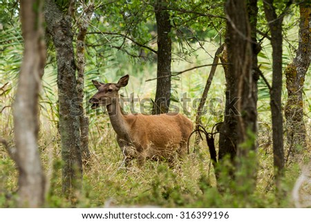 Roe in Ropotamo nature park, Bulgaria - stock photo