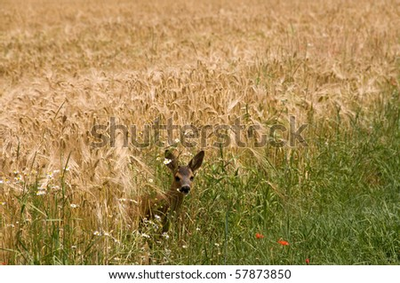 Roe leaves of rye. Roe deer (Capreolus capreolus) - stock photo