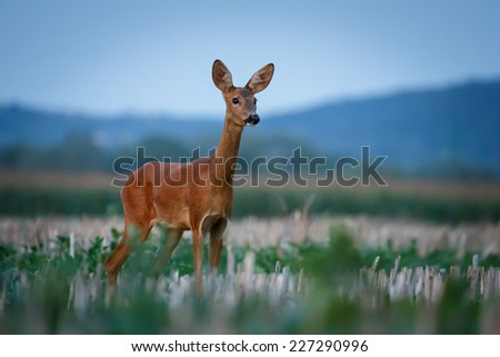Roe with background - stock photo