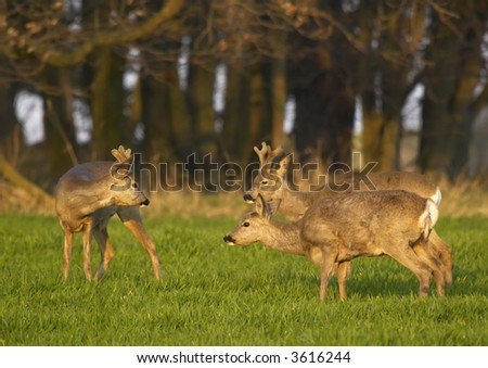 Roebucks - stock photo