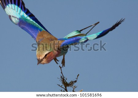 Roller bird in namibia - stock photo