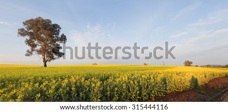 Rolling undulating hills planted out with golden canola, now flowering in full bloom in soft morning light.  Panorama. - stock photo