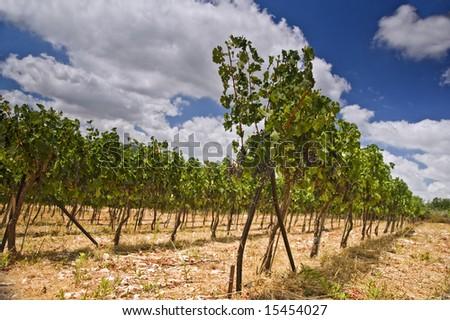 rolling vinyards in the Galilee Israel - stock photo