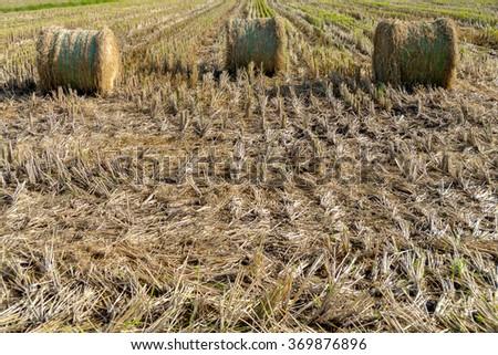 Rolls of hay straw - stock photo