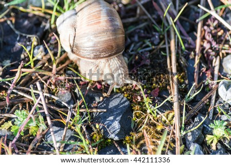 Roman snail also called Swabian Auster - stock photo