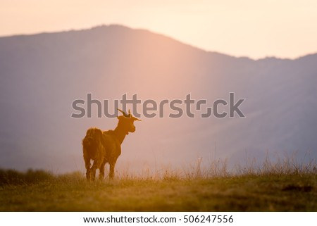 Romanian countryside with goat in sunset light