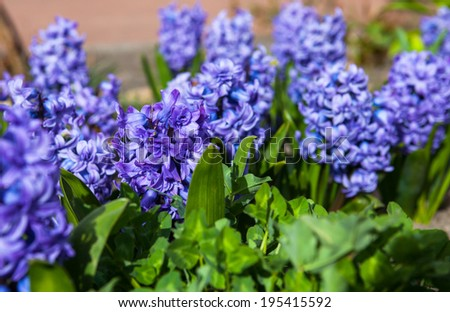 Romantic and delicate spring flower Hyacinth in bloom - stock photo