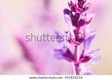 Romantic background with pink sage blossom, blurred. Focus on one blooming salvia flower in meadow. Bright medicinal plants - stock photo
