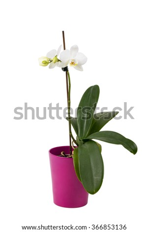 romantic branch of white orchid isolated on white background, studio shoot - stock photo