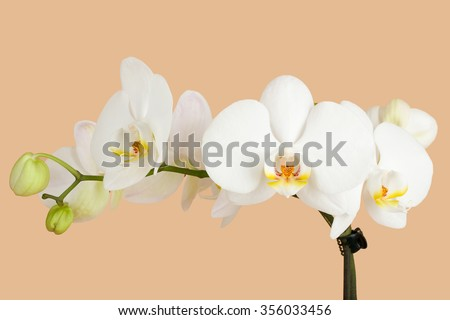 romantic branch of white orchid on beige background - stock photo