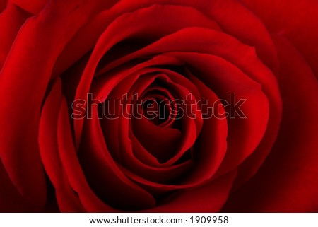 Romantic close-up of a red rose