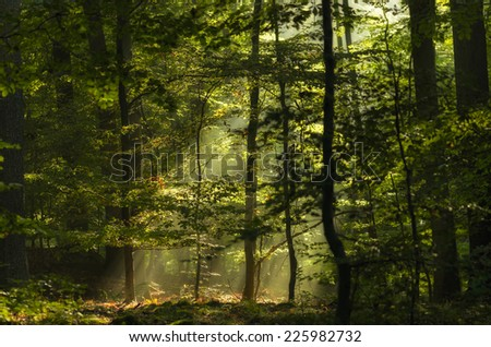 Romantic forest with beams of light shining through the treetops. - stock photo