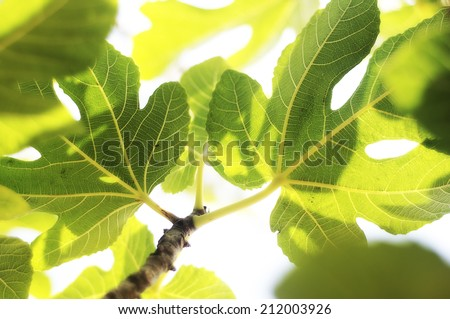 Romantic green fig-tree leaves with branch