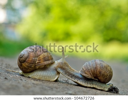 Romantic meet and kiss between of burgundy snail , Close-up outdoor