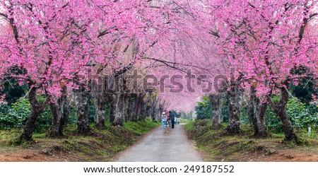 romantic road of  cherry blossom (Sakura) flower trees,panorama - stock photo
