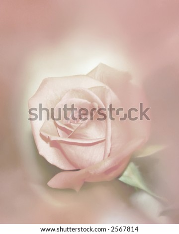 Romantic Soft Focus Pink Rose - stock photo