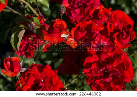 Romantic spectacular   brilliant crimson red   double  floribunda  roses   blooming in early spring  adding fragrance and color to the garden landscape are a  delight  to behold. - stock photo