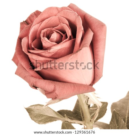 Romantic vintage rose.Processed with vintage style. - stock photo