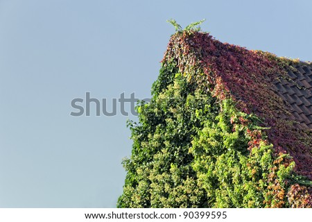 Roof overgrown with climbing hydrangea und Virginia creeper - Hydrangea petiolaris and Parthenocissus quinquefolia - stock photo