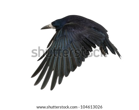 Rook, Corvus frugilegus, 3 years old, flying against white background - stock photo