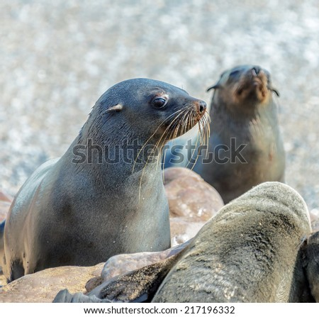 Rookery of Cape Fur Seals on Cape Cross - Namibia, Africa