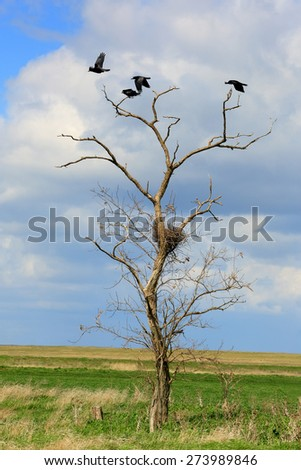 Rooks sit in the trees in the steppe, Rostov region, Russia. - stock photo