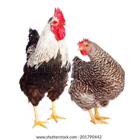 Rooster and chicken on white background. Gallus gallus domesticus - stock photo