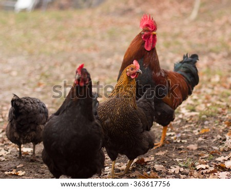 Rooster and Chickens. Free Range Cock and Hens