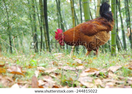 Rooster, in the mountains - stock photo