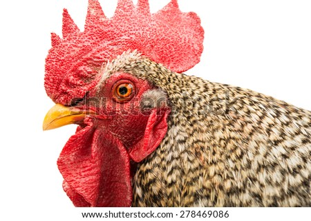 Rooster isolated on a white background - stock photo