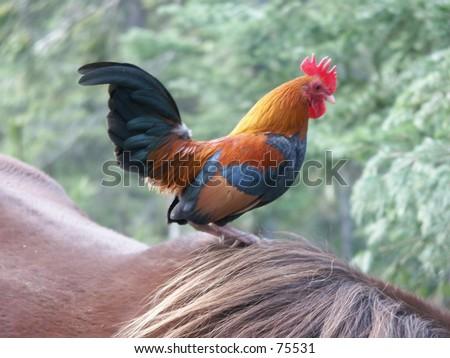 Rooster on Horseback - stock photo