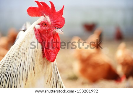 Rooster on traditional free range poultry farm - stock photo
