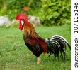Rooster singing - cock on a grass - stock photo
