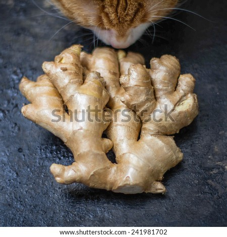 root of ginger on black background with funny red cat - stock photo
