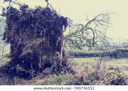 Root system of a tree felled by the force of the wind in a storm lying on its side in a rural field with a portion of the trunk and bare branches visible. With retro filter effect. - stock photo