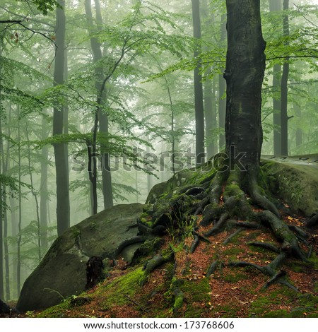 Roots of a tree in a misty forest - stock photo