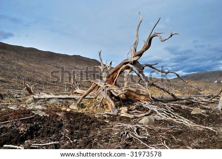 Roots of dead tree - stock photo