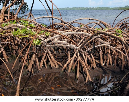 Roots of mangrove tree with the Caribbean sea in background, Bocas del Toro, Panama - stock photo