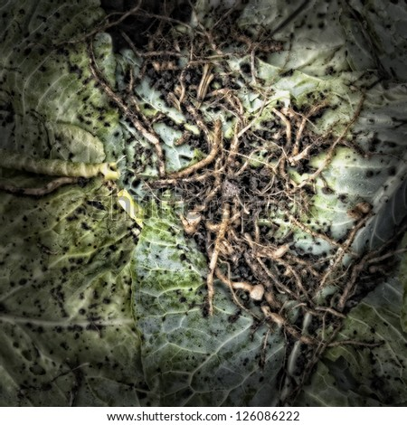 Roots on cabbage leaves on a Compost Heap. Artistically alienated to create a grungy somber atmosphere