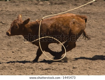 Roped calf at 2006 Russian River Rodeo, Duncans Mills, California