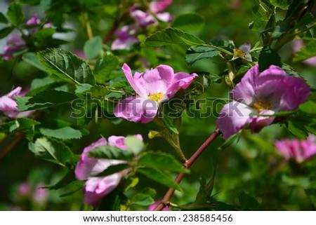 Rosa rubiginosa (Sweet briar)  - stock photo