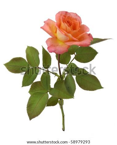 Rose 02 - stock photo