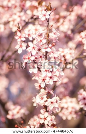 Rose and white blossoming flowers tree in park at early spring seson close up view