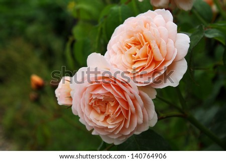 rose beige - stock photo