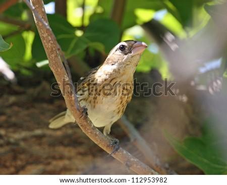 rose-breasted grosbeak - stock photo