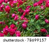 rose bush - stock photo