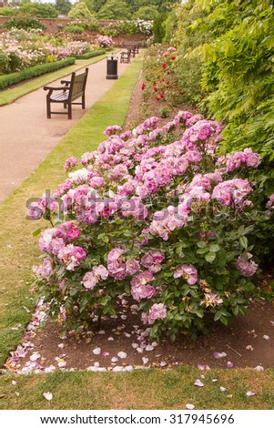 Rose bush blooming in a park - stock photo