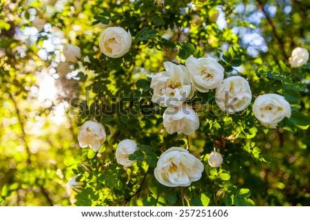 Rose Bush in the Sun - stock photo