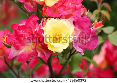 Rose bush on a sunny day on natural background